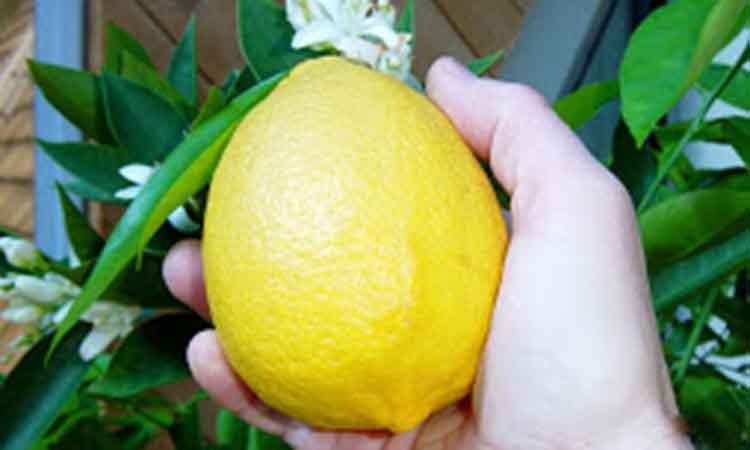 Το λεμόνι, οι ευεργετικές του ιδιότητες κατά του καρκίνου, της πίεσης, το αναπνευστικό, την χοληστερίνη, την δυσπεψία αλλά και την ομορφιά.