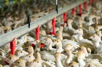 Ο ιός της γρίπης των πτηνών εντοπίστηκε στην Ολλανδία