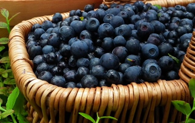Τα μύρτιλλα στη «μάχη» κατά των λιπαρών