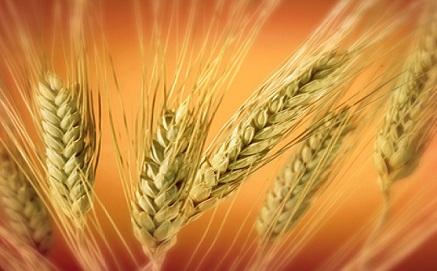 Σιτάρι ζέας: Ένα βιολογικό προϊόν στο τραπέζι μας