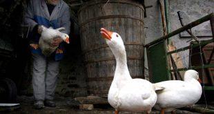 Ευθανασία 12.000 πουλερικών σε χωριό της Βουλγαρίας