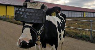 Ρώσοι βάζουν VR headsets σε αγελάδες για να είναι λιγότερο αγχωμένες