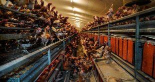 Εικόνες - ντροπή με νεκρά και άρρωστα πουλιά μέσα σε πτηνοτροφική μονάδα στη Βρετανία