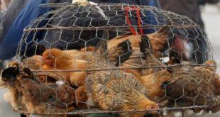 Ρουμανία: Επιδημία της γρίπης των πτηνών σε αγρόκτημα