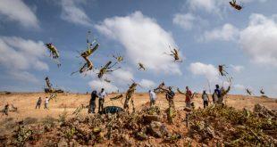 Μεγάλος μπελάς οι ακρίδες στις χώρες της Αφρικής