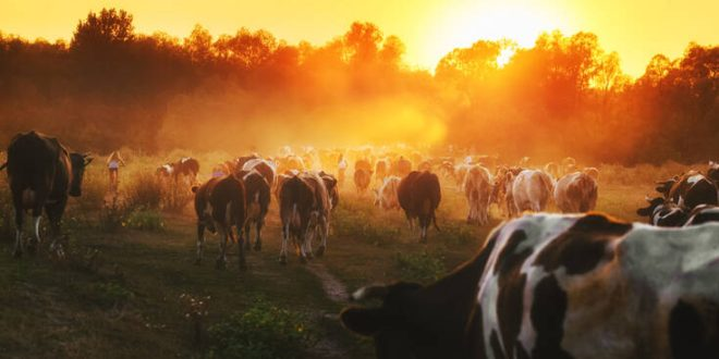 Ηλικιωμένος στη Βρετανία έπεσε νεκρός από επίθεση αγελάδων
