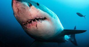 Άνδρας έδωσε γροθιά σε λευκό καρχαρία για να σώσει τη σύζυγό του που δέχτηκε  επίθεση