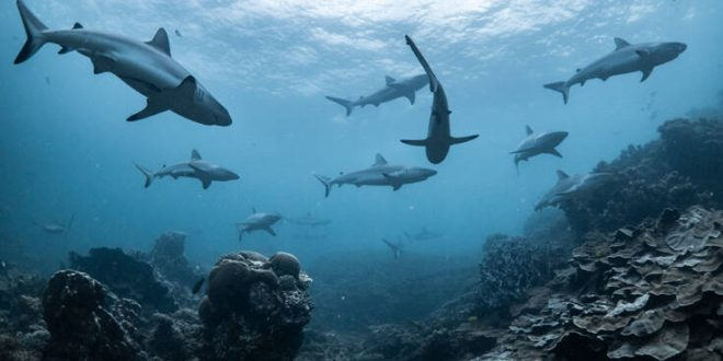 Μισό εκατομμύριο καρχαρίες κινδυνεύουν να θανατωθούν για το… εμβόλιο του κορονοϊού