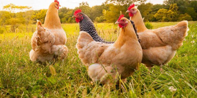 Εν μέσω πανδημίας κορονοϊού, η ΕΕ προειδοποιεί για ξεσπάσματα της γρίπης των πτηνών