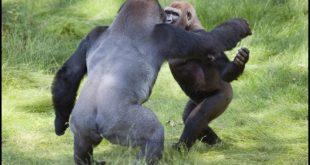 Θετικοί στον κορονοϊό δυο γορίλες στον ζωολογικό κήπο του Σαν Ντιέγκο